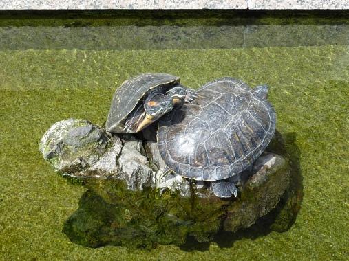 Deux tortues sur une représentation en pierre d'une divinité tortue