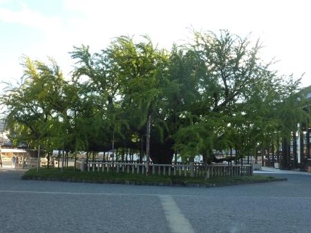 13 - Autre arbre magnifique du Nishi Hongan-ji